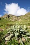 växt för berg för bur-kaktuscaucasus gräs Royaltyfria Bilder
