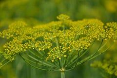 Växt för blomningdillörter i det trädgårds- (Anethumgraveolens) Slut upp av fänkålblommor Royaltyfria Bilder