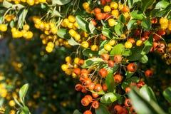 Växt för brandtagg (pyracanthacoccineaen) Royaltyfria Foton