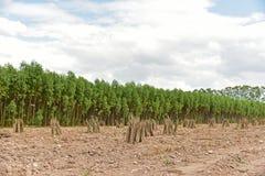 växt för cassavafältmanioc Royaltyfria Bilder