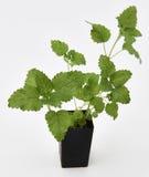Växt för citronbalsam Fotografering för Bildbyråer