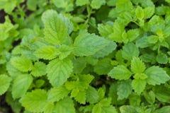 Växt för citronbalsam (Melissaofficinalis) Arkivfoton