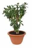 växt för crassuladollarovata Arkivbilder