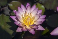 Växt för damm för blomning för ljus för Nymphaeavändkretssolnedgång, härligt ljust ljust - rosa gul näckros i blom, gul mitt arkivfoton