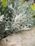Växt för dammig mjölnare Arkivbild
