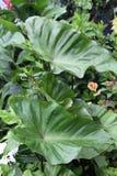 Växt för elefantöron Arkivfoton