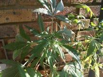 Växt för ganga för marijuanacannabisogräs kvinnlig arkivbild