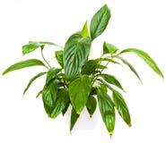 växt för grönt hus Royaltyfria Bilder