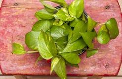 Växt för grönt hus på röd momentstol Royaltyfri Fotografi