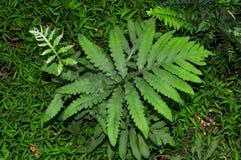 Växt för känslig ormbunke Arkivbilder