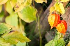 Växt för kinesisk lykta som är upplyst vid den höstliga solen arkivfoto