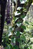 Växt för klättring för luftpotatis Royaltyfria Foton