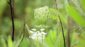 Växt för lös morot för Daucuscarota en vit stock video
