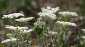 Växt för lös morot för Daucuscarota vit lös i natur stock video