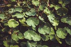 Växt för lövverk för Tropaeolumtuberosummashua Royaltyfri Bild
