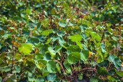 Växt för lövverk för Tropaeolumtuberosummashua Arkivfoto
