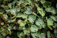 Växt för lövverk för Tropaeolumtuberosummashua Arkivfoton