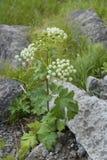 Växt för mantegazzianum för jätteHogweed Heracleum i Jasper National Park, Kanada arkivbilder