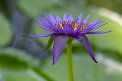 Växt för näckros för Nymphaeacaeruleazanzibarensis i blom, härliga blomma lotusblommablommor i det dekorativa trädgårddammet arkivbild