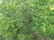 VÄXT för NYCKEL- LIMEFRUKT & x28; citrus bland med en sfärisk fruits& x29; Royaltyfria Foton