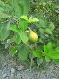 VÄXT för NYCKEL- LIMEFRUKT & x28; citrus bland med en sfärisk fruits& x29; Arkivfoto