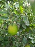 VÄXT för NYCKEL- LIMEFRUKT & x28; citrus bland med en sfärisk fruits& x29; Arkivbild