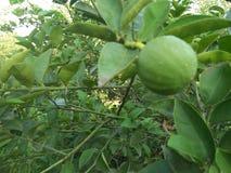 VÄXT för NYCKEL- LIMEFRUKT & x28; citrus bland med en sfärisk fruits& x29; Arkivbilder