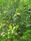 VÄXT för NYCKEL- LIMEFRUKT & x28; citrus bland med en sfärisk fruits& x29; royaltyfri fotografi