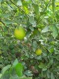 VÄXT för NYCKEL- LIMEFRUKT & x28; citrus bland med en sfärisk fruits& x29; royaltyfri foto