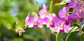 Växt för orkidé för mal för orkidéCymbidiumblomma Fotografering för Bildbyråer