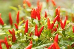 Växt för peppar för röd chili Royaltyfria Bilder