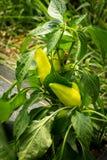 Växt för peppar för Feher ozonpaprika mild Fotografering för Bildbyråer