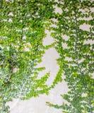 Växt för pumila för Coatbuttons mexicansk tusenskönafikus på på väggen arkivfoton
