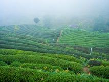 Växt för te för skörd för Hmong kullestam i morgonen på raicha 200 arkivfoton