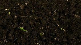Växt för Tid schackningsperiod Att spira och att växa kärnar ur av chilipeppar