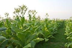 Växt för tobakfält av Thailand Royaltyfria Bilder