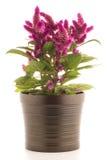 Växt för tuppkamcelosiaspicata Royaltyfria Foton