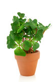 växt för växt av släkten Trifolium fyra Royaltyfri Fotografi