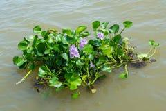 Växt för vattenhyacint som svävar på en flod Arkivfoto