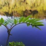 Växt för vattenyttersida Fotografering för Bildbyråer