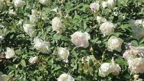 Växt för vita rosor stock video