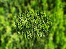 Växt- grön bakgrund av barrträd royaltyfri foto