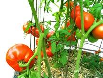 växt home ripened tomatvine Royaltyfri Fotografi