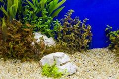 Växt i akvarium Arkivbild