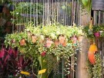 Växt i de hängande lerakrukorna i trädgård Royaltyfri Foto
