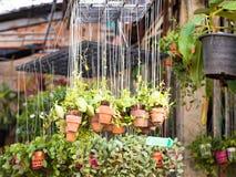 Växt i de hängande lerakrukorna i trädgård Royaltyfri Bild
