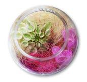 Växt i det glass akvariet Isolerad om-vit Royaltyfria Bilder