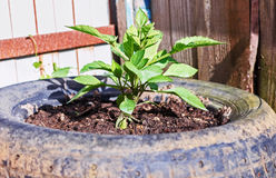 Växt i gummihjul Arkivfoto