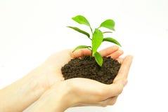 Växt i händer Arkivbilder