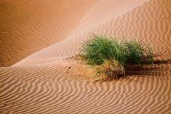 Växt i sanddyn fotografering för bildbyråer